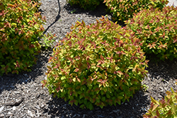 Double Play Big Bang® Spirea (Spiraea 'Tracy') at Skillins Greenhouse