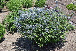Storm Cloud Bluestar (Amsonia tabernaemontana 'Storm Cloud') at Skillins Greenhouse