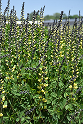 Decadence® Lemon Meringue False Indigo (Baptisia 'Lemon Meringue') at Skillins Greenhouse