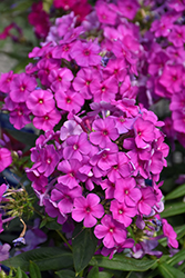 Purple Flame Garden Phlox (Phlox paniculata 'Purple Flame') at Skillins Greenhouse