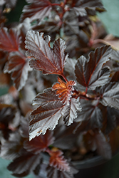 Fireside® Ninebark (Physocarpus opulifolius 'Fireside') at Skillins Greenhouse