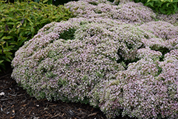 Rock 'N Grow® Pure Joy Stonecrop (Sedum 'Pure Joy') at Skillins Greenhouse