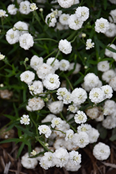 Peter Cottontail Yarrow (Achillea ptarmica 'Peter Cottontail') at Skillins Greenhouse