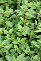 Chocolate Mint (Mentha x piperita 'Chocolate') at Skillins Greenhouse