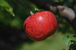 Wolf River Apple (Malus 'Wolf River') at Skillins Greenhouse