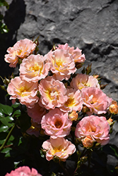 Peach Drift® Rose (Rosa 'Meiggili') at Skillins Greenhouse