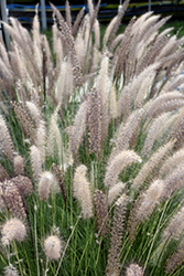 Fountain Grass (Pennisetum setaceum) at Skillins Greenhouse