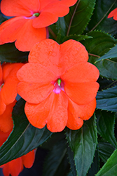 Sonic® Orange New Guinea Impatiens (Impatiens 'Sonic Orange') at Skillins Greenhouse