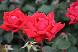 Double Knock Out® Rose (Rosa 'Radtko') at Skillins Greenhouse