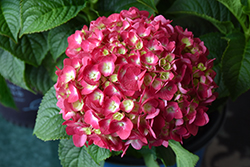 Summer Crush® Hydrangea (Hydrangea macrophylla 'Bailmacfive') at Skillins Greenhouse